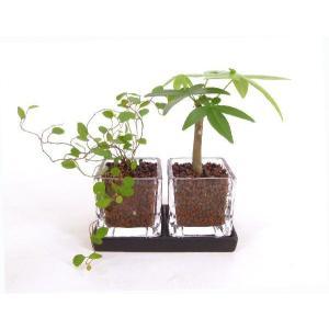 キュービックSS ダブル 皿付き ハイドロコーン植え 観葉植物/ハイドロカルチャー/水耕栽培/インテリアグリーン|julli