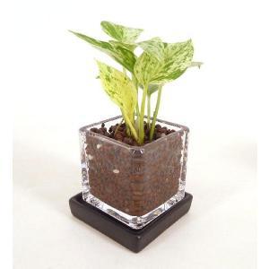 キュービックSS シングル 皿付き ハイドロコーン植え 観葉植物/ハイドロカルチャー/水耕栽培/インテリアグリーン|julli