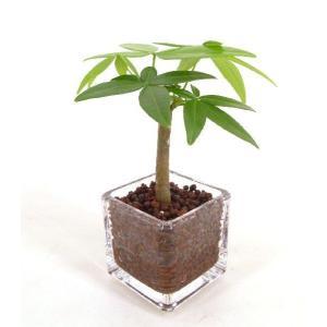 キュービックSS シングル 皿なし ハイドロコーン植え 観葉植物/ハイドロカルチャー/水耕栽培/インテリアグリーン|julli