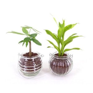 ランタンベース ハイドロコーン植え 観葉植物/ハイドロカルチャー/水耕栽培/インテリアグリーン|julli