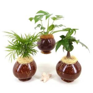 ヤシの実ポット L セラミス植え 観葉植物/ハイドロカルチャー/水耕栽培/インテリアグリーン|julli