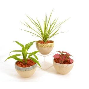 大地 セラミス植え 観葉植物/ハイドロカルチャー/水耕栽培/インテリアグリーン|julli
