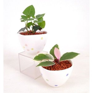 春花 はるか セラミス植え 観葉植物/ハイドロカルチャー/水耕栽培/インテリアグリーン|julli