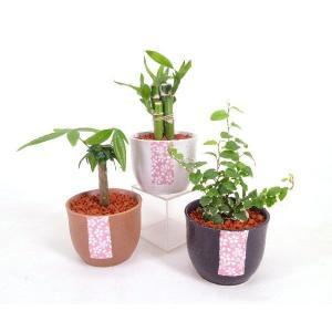 花しおり セラミス植え 観葉植物/ハイドロカルチャー/水耕栽培/インテリアグリーン|julli