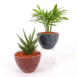 いなせ セラミス植え 観葉植物/ハイドロカルチャー/水耕栽培/インテリアグリーン|julli