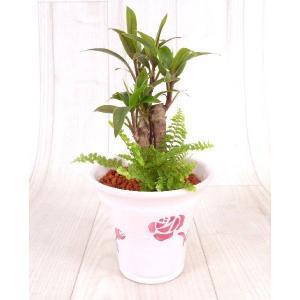 ローズポットM セラミス植え 観葉植物/ハイドロカルチャー/水耕栽培/インテリアグリーン|julli