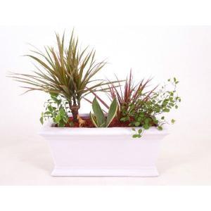 レクトグレースL セラミス植え 数量限定 観葉植物/ハイドロカルチャー/水耕栽培/インテリアグリーン|julli