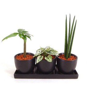 オードリー トリプル 皿つき 丸 セラミス植え 観葉植物/ハイドロカルチャー/水耕栽培/インテリアグリーン|julli