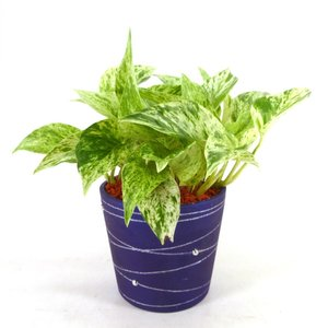 スパイラル ブルーポット セラミス植え 3号苗 観葉植物/ハイドロカルチャー/水耕栽培/インテリアグリーン|julli