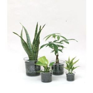 i−pot185 炭植え 観葉植物/ハイドロカルチャー/水耕栽培/インテリアグリーン|julli