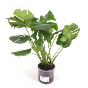 クリア180 炭植え 観葉植物/ハイドロカルチャー/水耕栽培/インテリアグリーン|julli