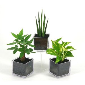 PキューブM 炭植え 観葉植物/ハイドロカルチャー/水耕栽培/インテリアグリーン|julli