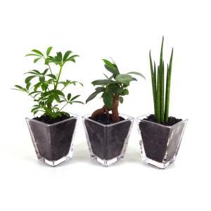 スクエアグラス 炭植え 観葉植物/ハイドロカルチャー/水耕栽培/インテリアグリーン|julli