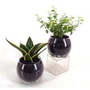 バルンボール100 炭植え 観葉植物/ハイドロカルチャー/水耕栽培/インテリアグリーン|julli