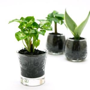 プチグリーン 炭植え 観葉植物/ハイドロカルチャー/水耕栽培/インテリアグリーン|julli