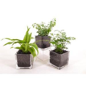 キュートキューブ 炭植え 観葉植物/ハイドロカルチャー/水耕栽培/インテリアグリーン|julli