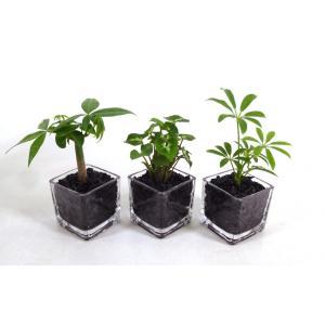 GブロックS  キューブ 3個セット 炭植え 観葉植物/ハイドロカルチャー/水耕栽培/インテリアグリーン|julli