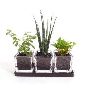 キュービックSS トリプル 皿付き 炭植え 観葉植物/ハイドロカルチャー/水耕栽培/インテリアグリーン|julli