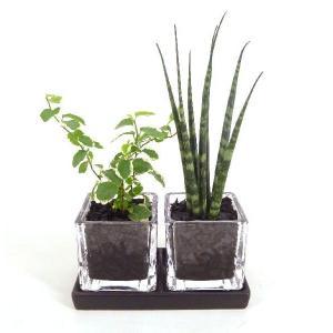 キュービックSS ダブル 皿付き 炭植え 観葉植物/ハイドロカルチャー/水耕栽培/インテリアグリーン|julli