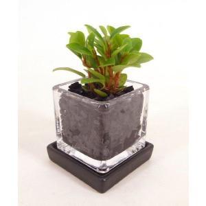 キュービックSS シングル 皿付き 炭植え 観葉植物/ハイドロカルチャー/水耕栽培/インテリアグリーン|julli