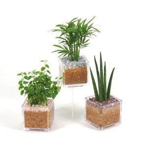 キュートキューブ エコスギ植え 観葉植物/ハイドロカルチャー/水耕栽培/インテリアグリーン|julli