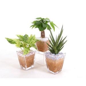 スクエアグラス エコスギ植え 3個+森の妖精セット 観葉植物/ハイドロカルチャー/水耕栽培/インテリアグリーン|julli