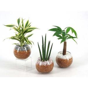 バルンボール100 エコスギ植え 観葉植物/ハイドロカルチャー/水耕栽培/インテリアグリーン|julli