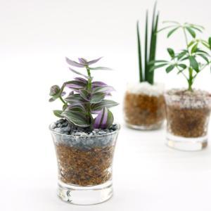 プチグリーン エコスギ植え 観葉植物/ハイドロカルチャー/水耕栽培/インテリアグリーン|julli