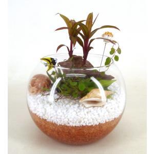 エコスギ植え 作成キット テラリウム 観葉植物/ハイドロカルチャー/水耕栽培/インテリアグリーン|julli