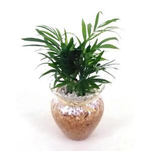 ラフィアグラス エコスギ植え 観葉植物/ハイドロカルチャー/水耕栽培/インテリアグリーン|julli