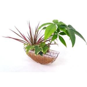 ゆりかご エコスギ 寄せ植え 観葉植物/ハイドロカルチャー/水耕栽培/インテリアグリーン|julli