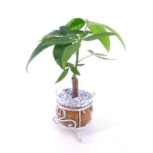 アイアンガラス エコスギ植え 観葉植物/ハイドロカルチャー/水耕栽培/インテリアグリーン|julli