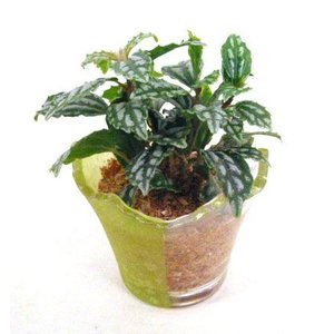ハーフカラーポット エコスギ植え 観葉植物/ハイドロカルチャー/水耕栽培/インテリアグリーン|julli