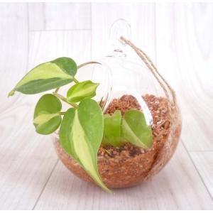 ハンギングガラス エコスギ植え 観葉植物/ハイドロカルチャー/水耕栽培/インテリアグリーン|julli