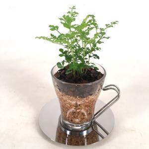 コーヒーカップオスロ エコスギ植え 観葉植物/ハイドロカルチャー/水耕栽培/インテリアグリーン|julli