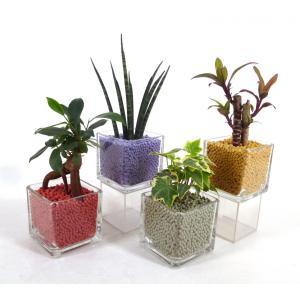 キュートキューブ リサコ植え カワラカルチャー 観葉植物/ハイドロカルチャー/水耕栽培/インテリアグリーン|julli