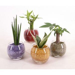 バルンボール100 リサコ植え カワラカルチャー 観葉植物/ハイドロカルチャー/水耕栽培/インテリアグリーン|julli
