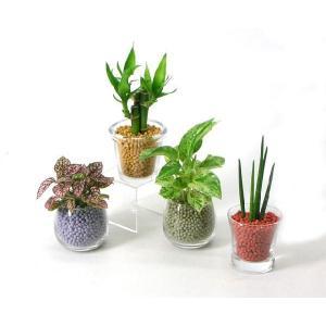 プチグリーン リサコ植え カワラカルチャー 観葉植物/ハイドロカルチャー/水耕栽培/インテリアグリーン|julli