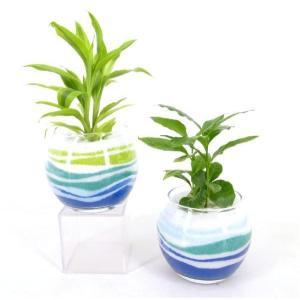 なみなみ模様 サンド植え 水さし付き 観葉植物/ハイドロカルチャー/水耕栽培/インテリアグリーン|julli