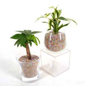プチグリーン ミックスサンド カラーサンド植え 観葉植物/ハイドロカルチャー/水耕栽培/インテリアグリーン|julli
