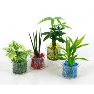 クリア110 ビー玉植え 観葉植物/ハイドロカルチャー/水耕栽培/インテリアグリーン|julli