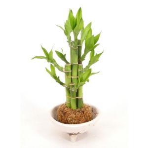 ひわれ苔玉 ミリオンバンブー 観葉植物/ハイドロカルチャー/水耕栽培/インテリアグリーン|julli