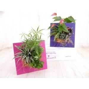 まどまど mado*2 観葉植物/ハイドロカルチャー/水耕栽培/インテリアグリーン|julli