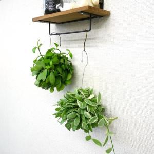 ディスキディアボール 観葉植物/ハイドロカルチャー/水耕栽培/インテリアグリーン|julli