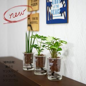 ウォータリウム ビーカーS100ml ハイドロコーン植え 観葉植物/ハイドロカルチャー/水耕栽培/インテリアグリーン|julli