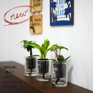 ウォータリウム ビーカーS100ml 炭植え 観葉植物/ハイドロカルチャー/水耕栽培/インテリアグリーン|julli