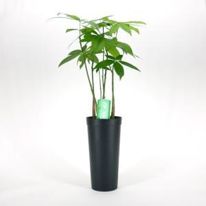 限定1鉢! パキラ 林仕立て 斑入り A 10.5cmL 土苗 観葉植物/インテリアグリーン|julli