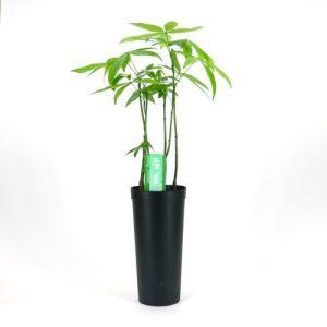 限定1鉢! パキラ 林仕立て 斑入り B 10.5cmL 土苗 観葉植物/インテリアグリーン|julli