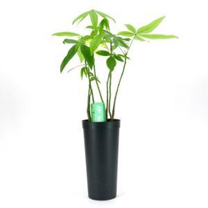 限定1鉢! パキラ 林仕立て 斑入り C 10.5cmL 土苗 観葉植物/インテリアグリーン|julli