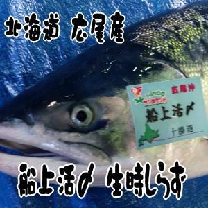 北海道広尾産 船上活〆時しらず 3kg-3.5kg|kabusui